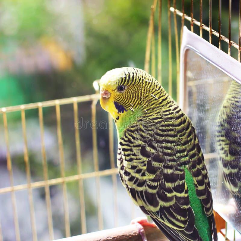 在笼子的大鹦鹉 免版税库存图片