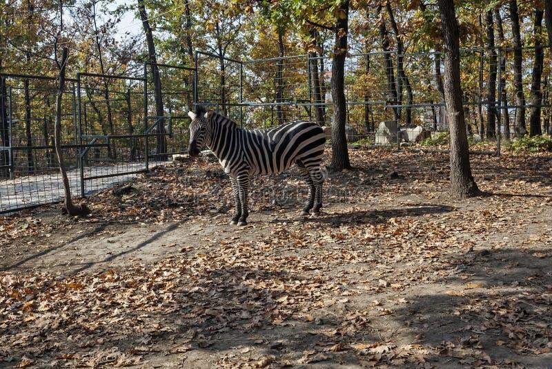 在笼子的斑马在动物园博尔塞尔维亚05 免版税库存照片