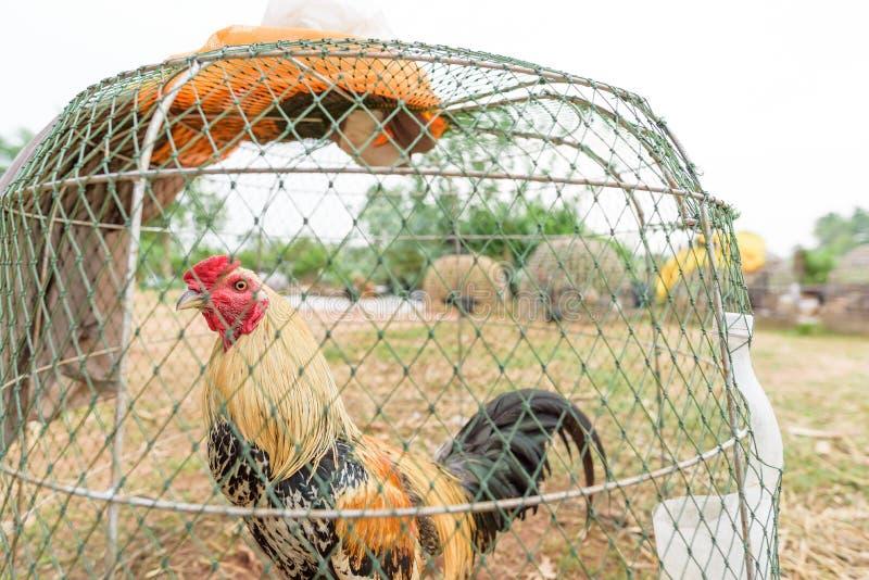 在笼子的泰国公鸡战斗机 图库摄影