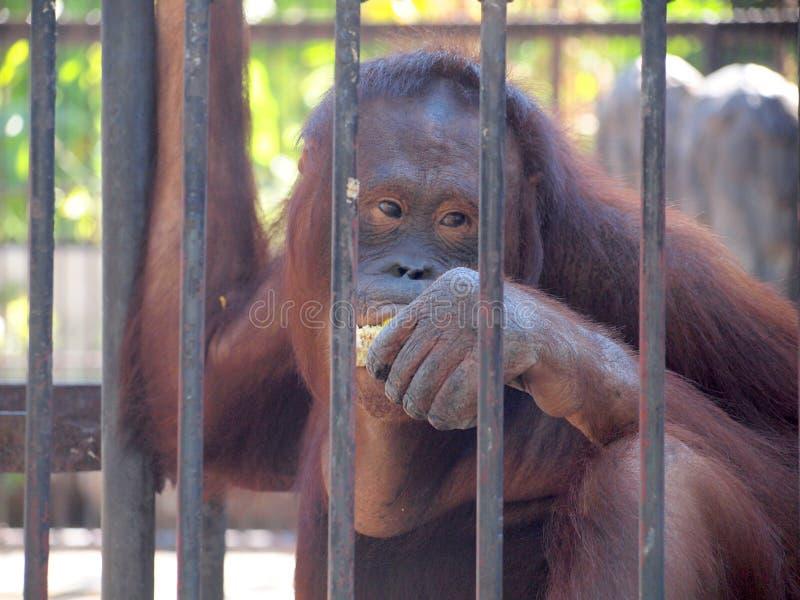 在笼子的猴子 免版税图库摄影