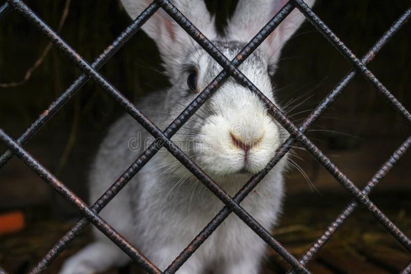 在笼子的白色兔子 免版税库存照片