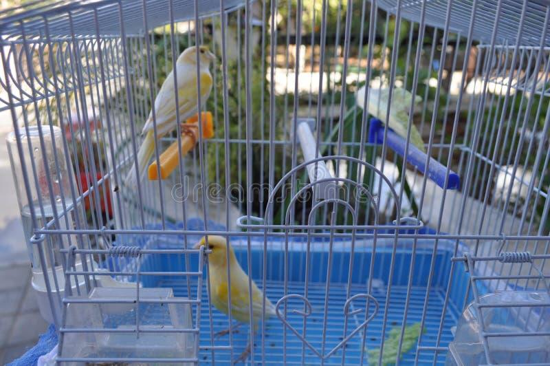 在笼子的美丽的鸟金丝雀 免版税库存照片