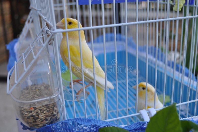 在笼子的美丽的鸟金丝雀 免版税图库摄影