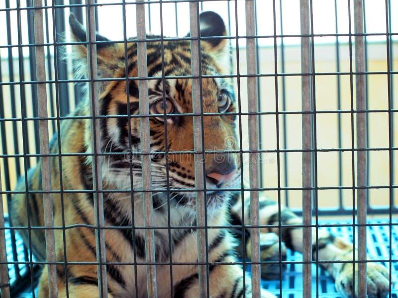 在笼子的老虎 图库摄影