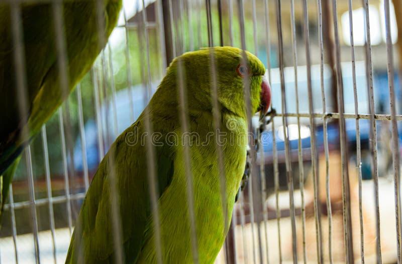 在笼子的逗人喜爱的绿色鹦鹉 免版税库存图片