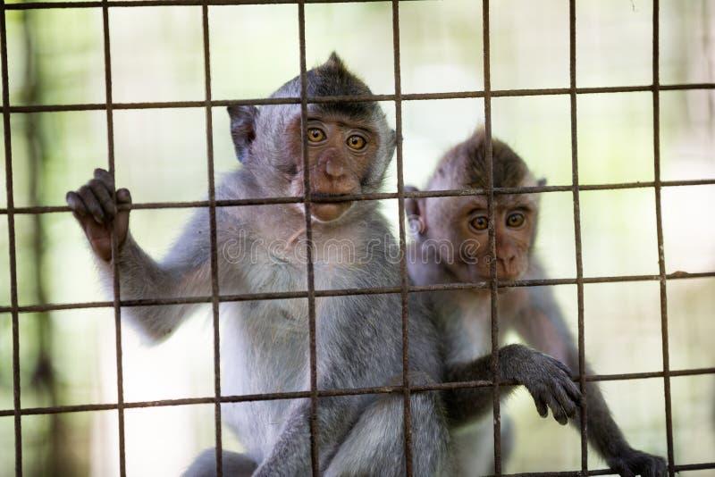 在笼子的野生逗人喜爱的猴子 免版税库存图片
