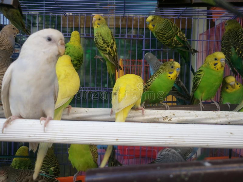 在笼子的长尾小鹦鹉 免版税库存照片