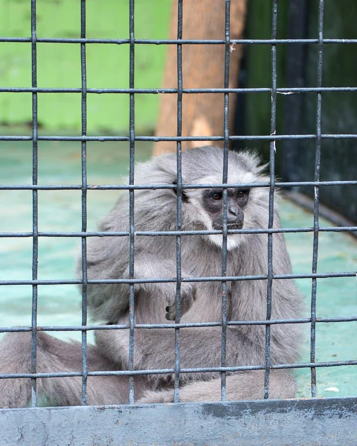 在笼子的长臂猿猴子 免版税库存图片