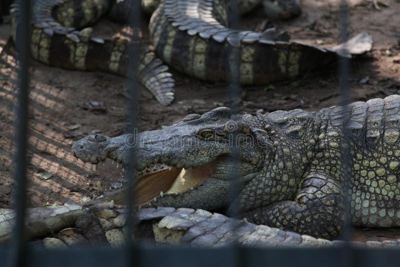 在笼子的鳄鱼 免版税库存图片