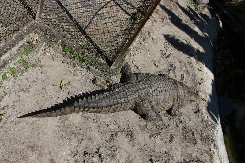 在笼子的鳄鱼 免版税库存照片