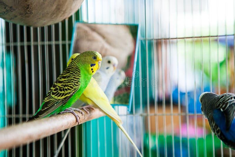 在笼子的鹦哥 在鸟笼的Budgie长尾小鹦鹉 鹦鹉 库存照片
