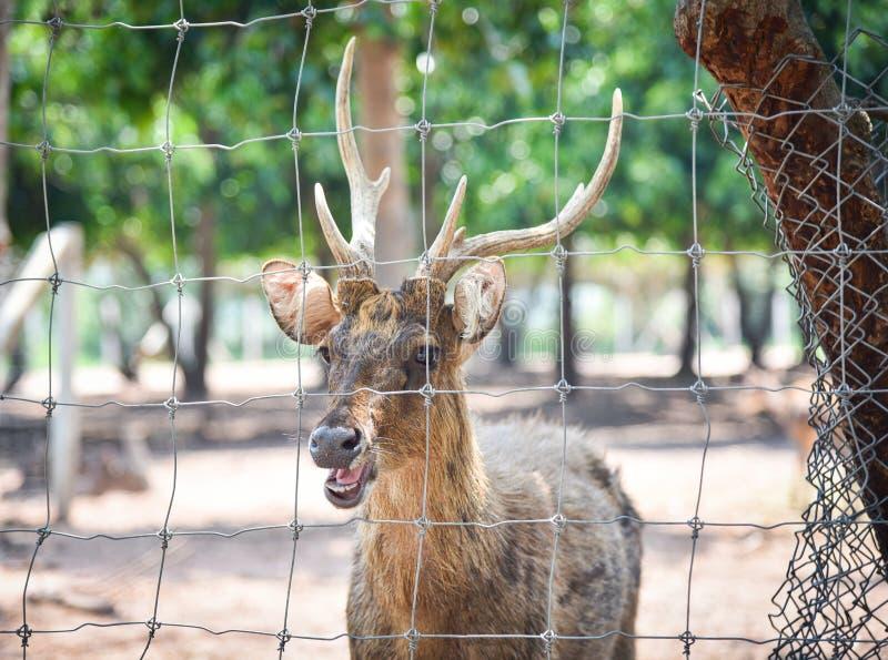 在笼子的鹿 免版税库存图片