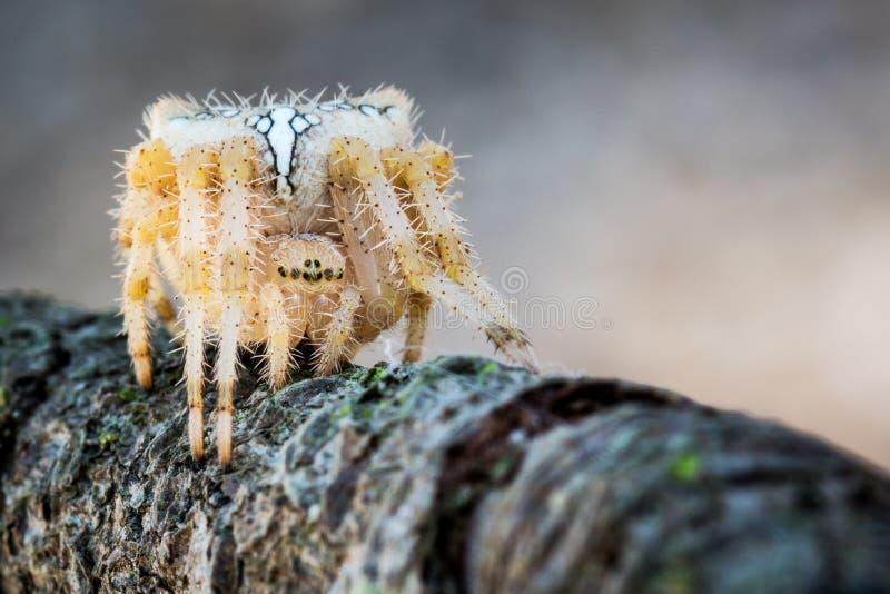 在等待对牺牲者的攻击的蜘蛛 免版税库存图片