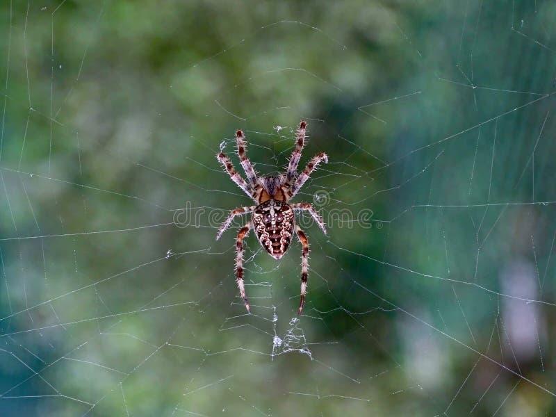 在等待牺牲者的网的花园蜘蛛 免版税库存图片
