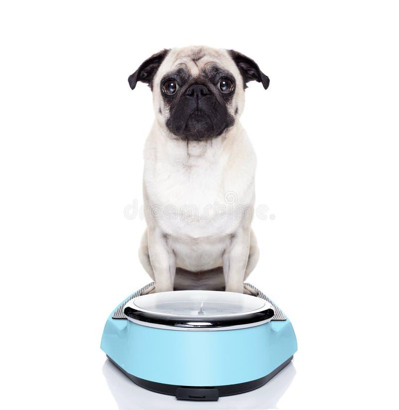 在等级的肥胖狗 库存照片