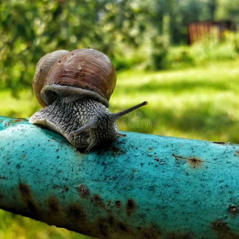 在管子的蜗牛在庭院里 免版税库存照片