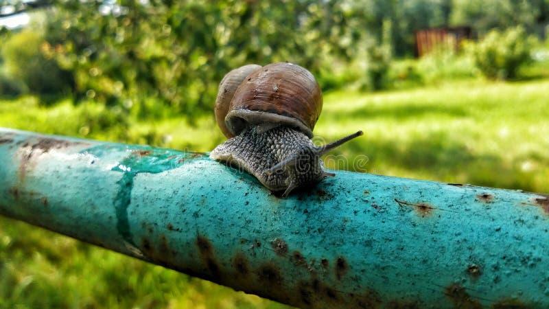 在管子的蜗牛在庭院里 免版税图库摄影