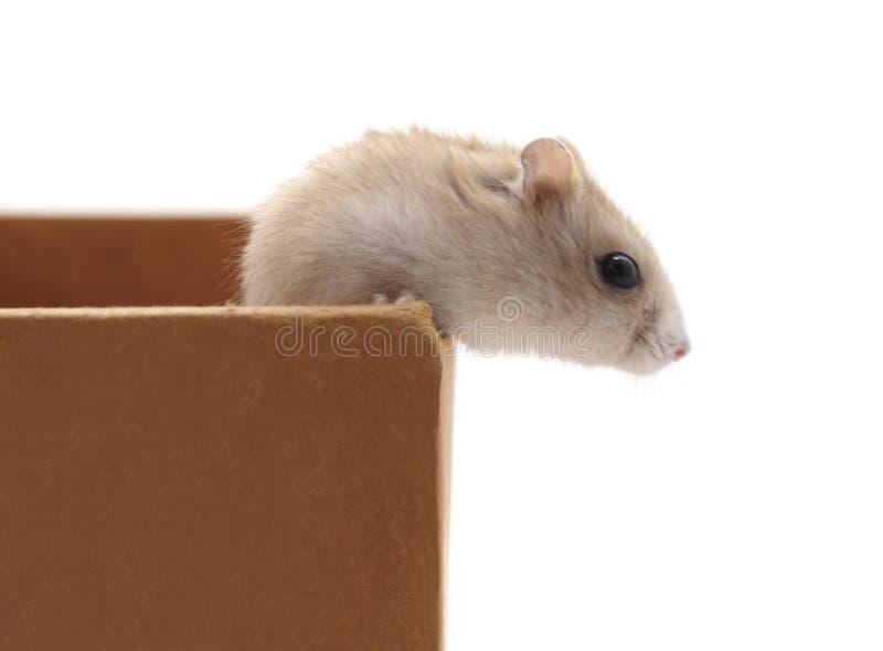 在箱子的仓鼠 库存照片