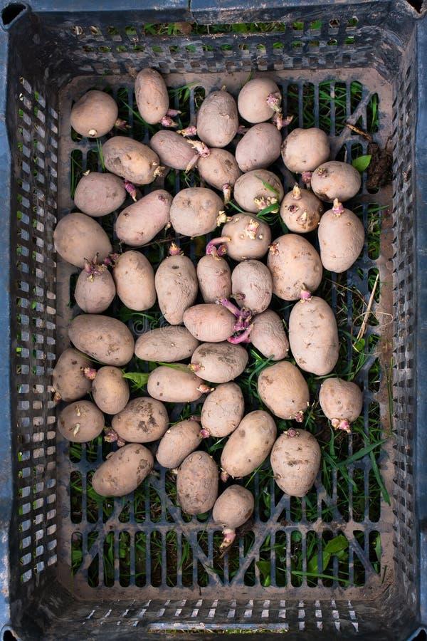 在箱子的发芽的土豆 免版税库存图片