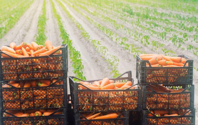 在箱子的新近地被收获的红萝卜 Eco友好的菜准备好待售 夏天收获农业 ?? 工农业 图库摄影