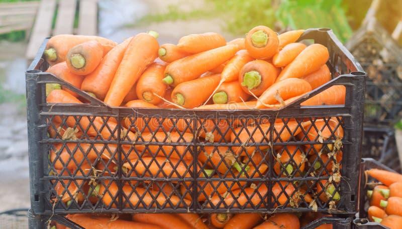 在箱子的新近地被收获的红萝卜 Eco友好的菜准备好待售 夏天收获农业 ?? 工农业 免版税库存照片