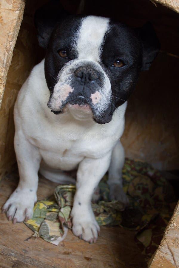 在箱子的法国牛头犬 免版税图库摄影