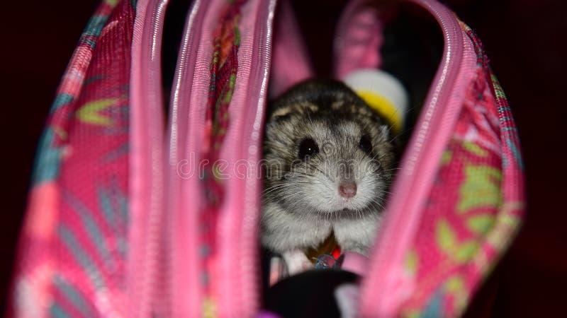 在箱子的矮小的仓鼠在白色背景 免版税图库摄影
