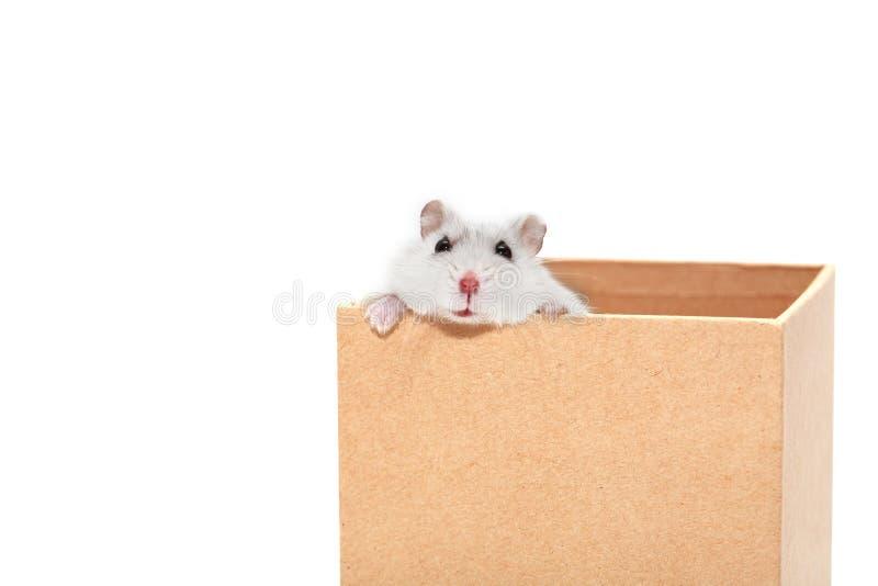 在箱子的仓鼠 免版税库存照片