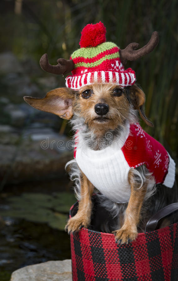 在篮子佩带的驯鹿的帽子的热带小混杂的品种狗 库存图片