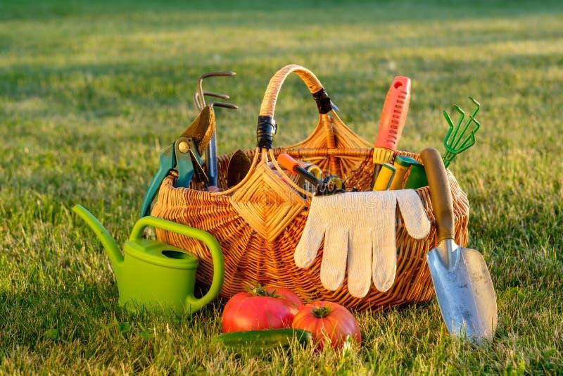 在篮子和喷壶的园艺工具在草 新近地被收获的蕃茄,有机食品概念 免版税库存图片