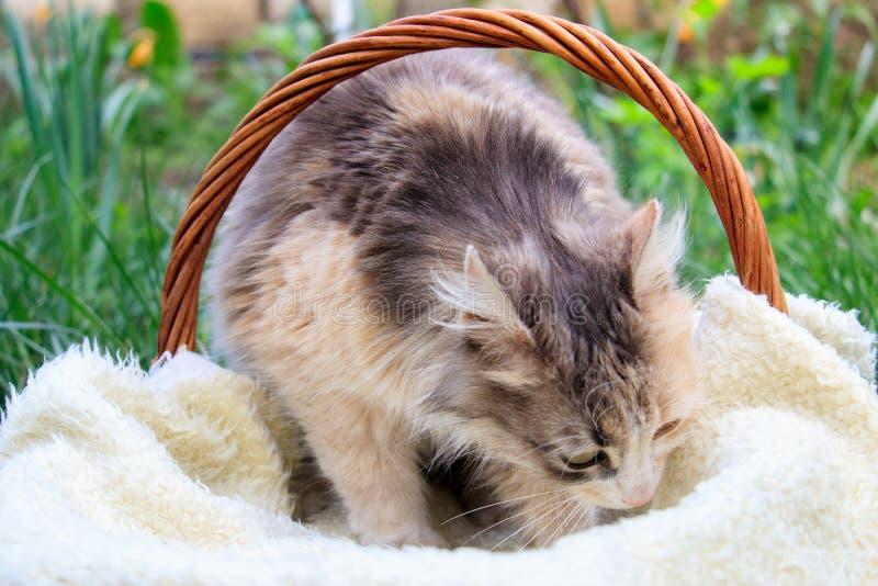 在篮子的一只美丽的五颜六色的猫 免版税库存照片