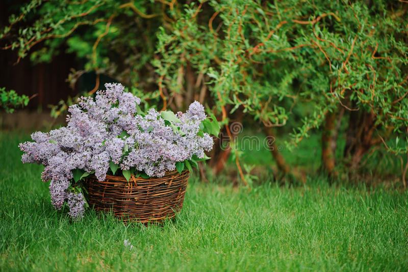 在篮子的丁香在绿色草坪在春天从事园艺 免版税库存照片