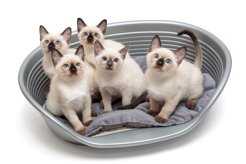 在篮子的五只小泰国小猫 库存照片