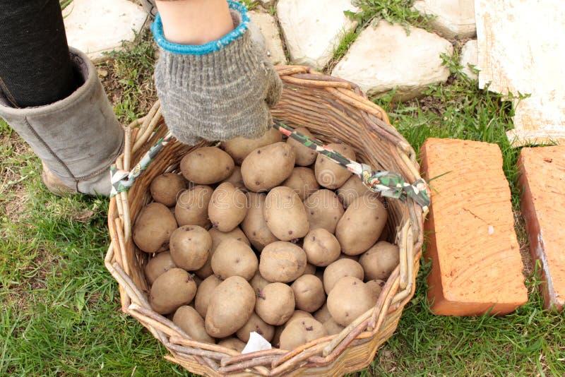 在篮子的发芽的土豆 免版税库存图片
