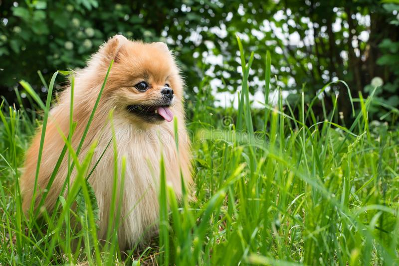 在篮子的小狗波美丝毛狗蓬松逗人喜爱的开会 图库摄影