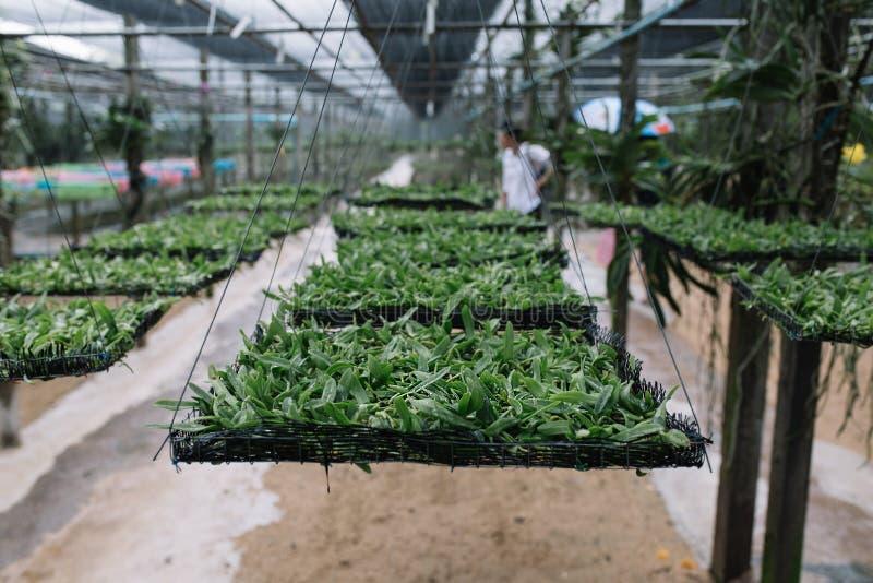 在篮子的年轻兰花幼木自托儿所温室 免版税库存照片