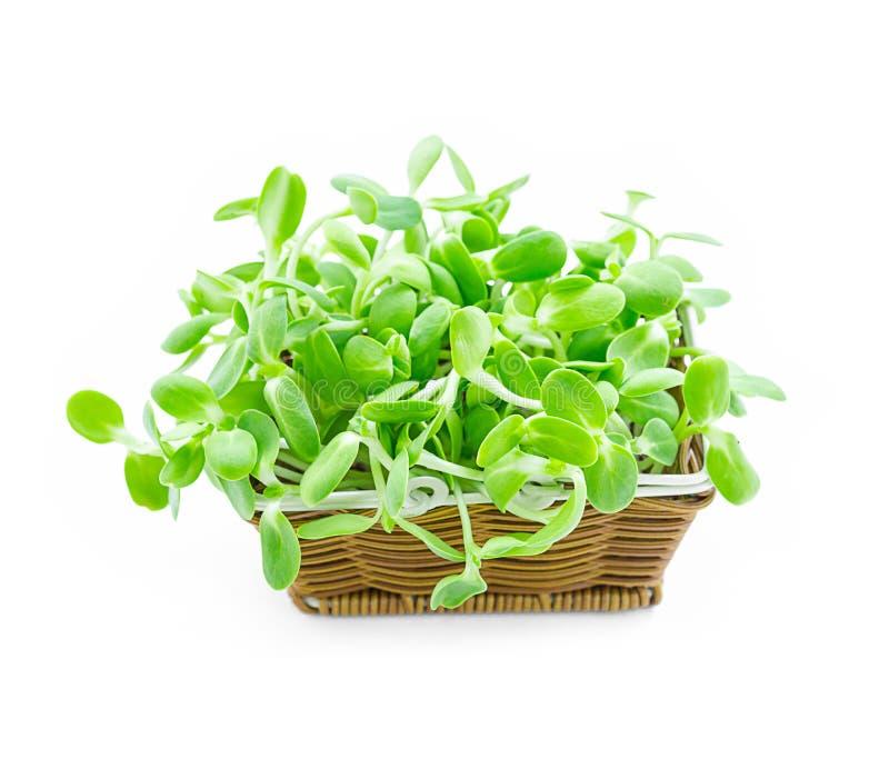 在篮子的有机绿色年轻向日葵新芽 免版税库存图片