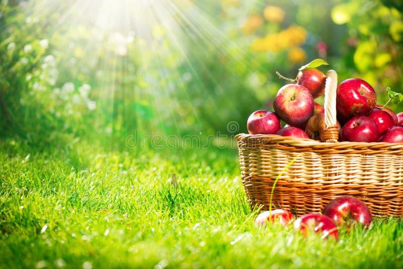 在篮子的有机苹果。 果树园 免版税库存图片