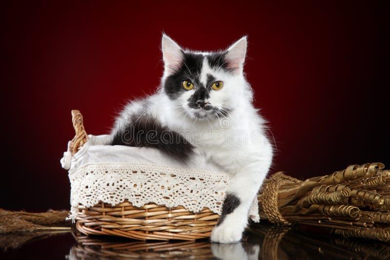 在篮子的杂种白色猫 库存图片