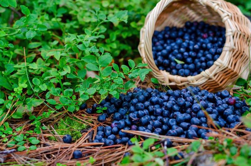 在篮子的森林蓝莓在狂放的森林里 库存照片