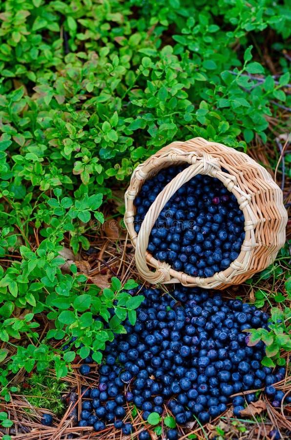 在篮子的森林蓝莓在狂放的森林里 免版税库存图片