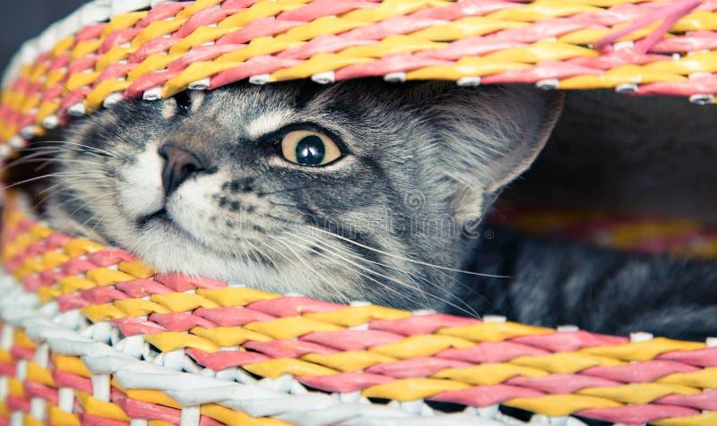 在篮子的猫 库存照片
