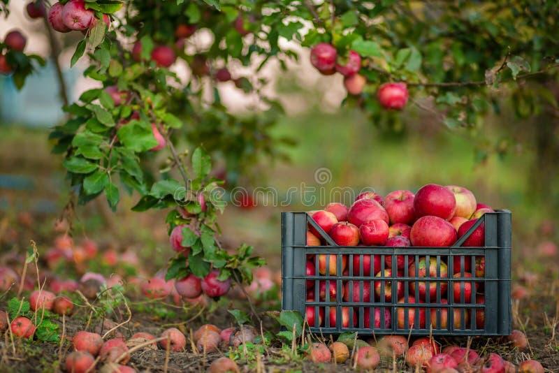 在篮子的红色在绿草的苹果和箱子在秋天果树园 库存图片