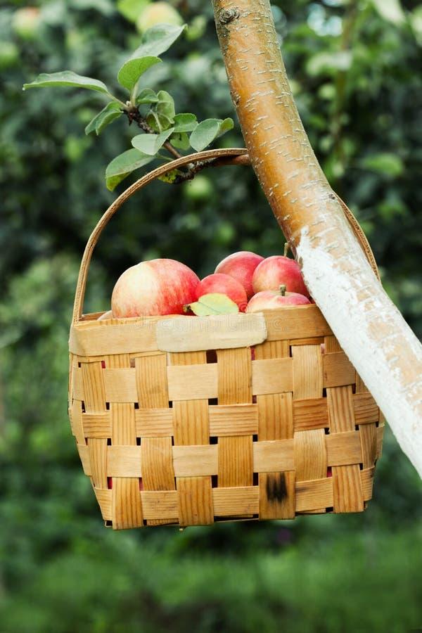 在篮子的红色苹果在树 免版税库存照片