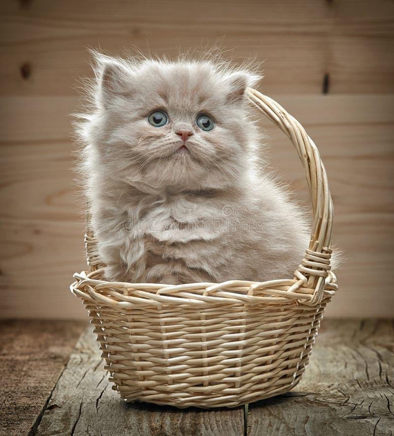 在篮子的美丽的英国长的头发小猫 库存照片