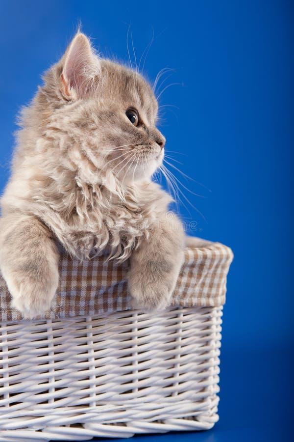Download 苏格兰平直的小猫 库存照片. 图片 包括有 小猫, 蓝色, 毛皮, 粗野, 富感情的, pedicured - 30338450
