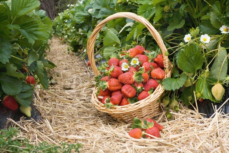 在篮子的草莓在域 库存照片