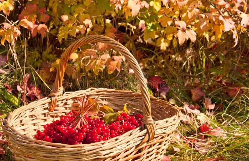 在篮子的荚莲属的植物莓果 库存图片
