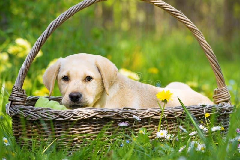 在篮子的逗人喜爱的拉布拉多猎犬小狗 库存图片