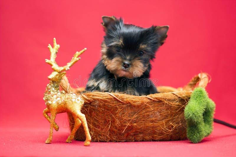 在篮子的逗人喜爱的约克夏狗小狗 免版税库存图片